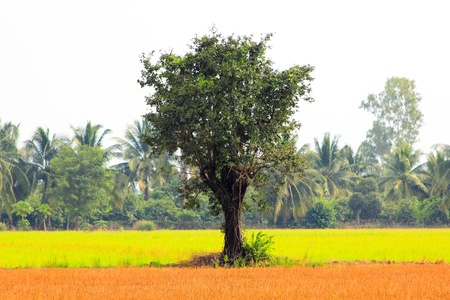 two tone: Tree in the two tone rice field