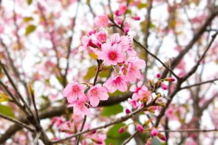 Beautiful pink cherry blossom (Prunus cerasoides or Nang Paya Sua Krong)