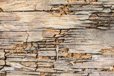 arbol: Corteza vieja agrietada en la textura