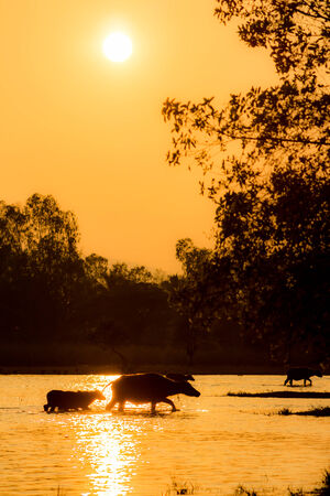 Buffalo walk across the river with silhouette photo