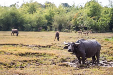 Wasserbüffel suhlen im Schlamm Lizenzfreie Bilder