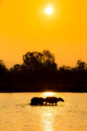 Buffalo walk in the river