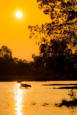 Buffalo walk across the river