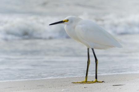 USA, Florida, Close up of a beautiful heron snowy egret bird at madeira beach