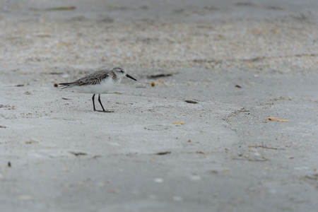 USA, Florida, Close up of a beautiful small bird Calidris alba, Sanderling a shorebird