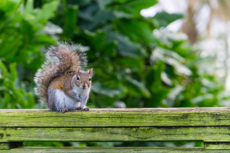 Little squirrel with brown fur sitting on a green moss covered bench in a garden Zdjęcie Seryjne