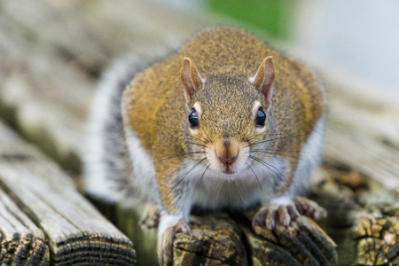 USA, Florida, Cute face of a brown squirrel sitting on a wooden bench