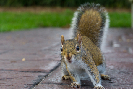 Frontal view of a brown squirrel sitting on the ground with upright tail and bushy fur Stock Photo