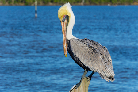 USA, Florida, Beautiful adult brown pelican standing on a wood pile in the water Stock Photo