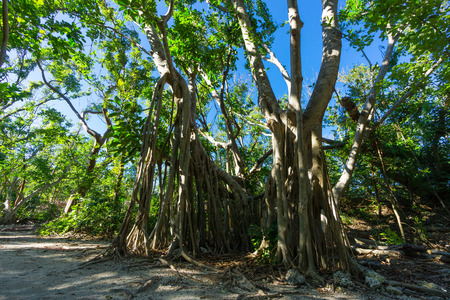 USA, Florida, Ancient roots of banyan tree in fort zachary taylor park on key west 写真素材