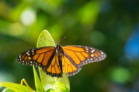 USA, Florida, Beautiful orange monarch butterfly sitting on a green leaf 写真素材