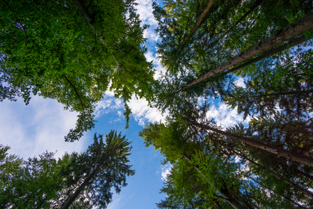 Black Forest Germany blue sky between huge tree trunks at glade with blue sky