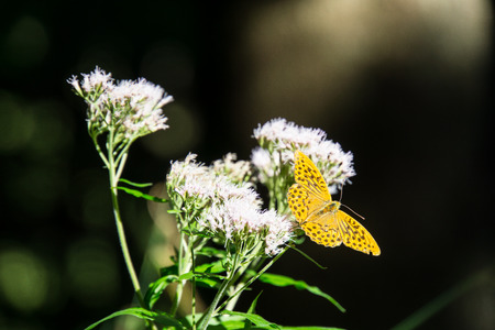 Amazing huge orange butterfly sitting on a white flower in the sun in the forest Stock Photo