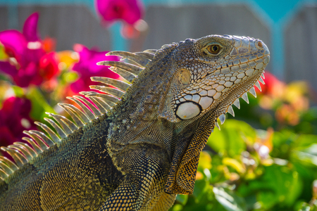 Close up side view of giant reptile Iguana lizard with plants behind Imagens