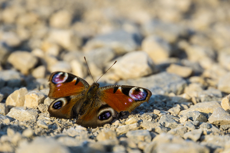 Germany, Colourful peacock butterfly or european peacock sitting on soil