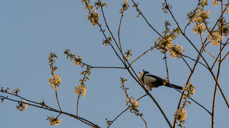 Germany, Adult eurasian magpie bird sitting in a tree in sunset light