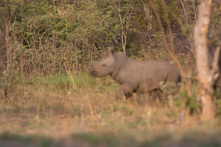 a rhino in africa is waking around and looking for food and water to drink