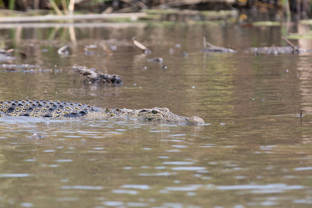 crocodile is sitting by the river and waiting for pray to eat