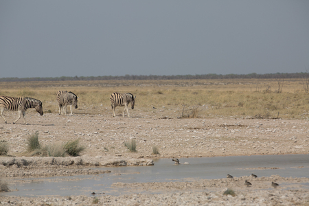 some zebra walking around and looking for water and food Standard-Bild