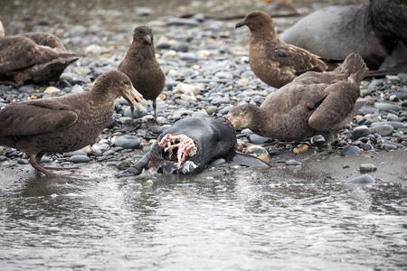 Eine Möwe lebt in der Antarktis und sucht nach Nahrung Standard-Bild