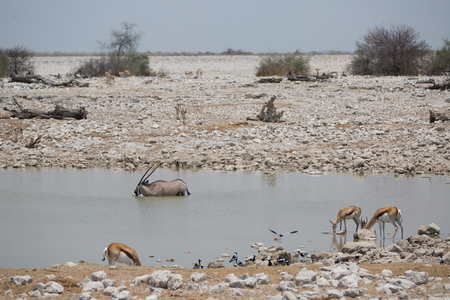 some antelope eating in the savanna of africa in the wild nature Stock Photo