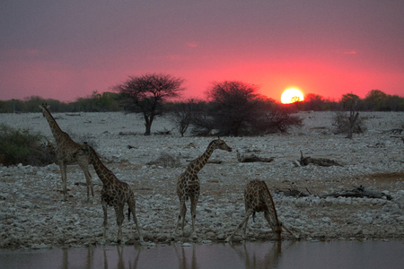 some giraffe is looking for grass trees and water to feed from