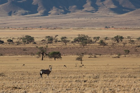 some antelope eating in the savanna of africa in the wild nature Imagens