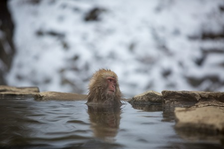 some macaque apes take a bath with the family in asia japan