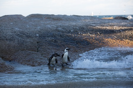 african penguins walking over the beach in the ocean to swim with there family