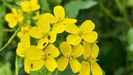 Gelbe Senfblume auf natürlichem grünem Hintergrund