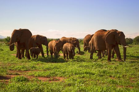 Herd of elephnats met during safari in Kenya, Africa.