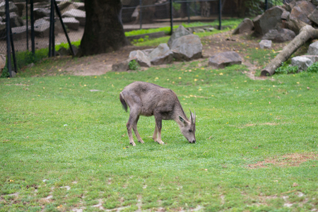 Young grey goat feeding inside the paddock at zoo 版權商用圖片