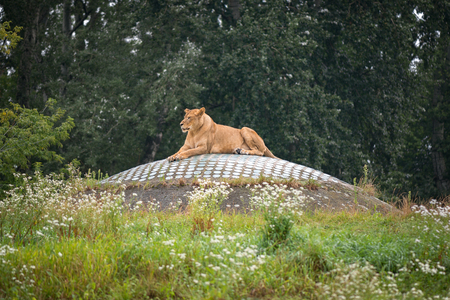 Lioness at zoo