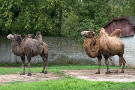 Two bactrian camels at zoo Imagens