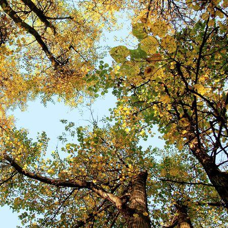 limetree: yellow  autumn trees on the sky background Stock Photo