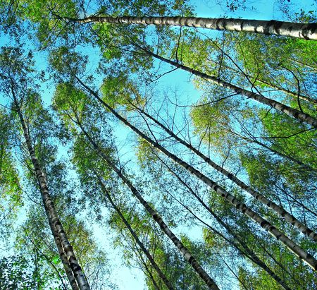 forests trees on the blue sky background photo