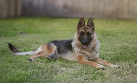 German shepherd on the lawn Stock Photo