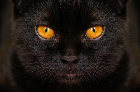 Close-up serious black Cat with Yellow Eyes in Dark. Face black Scottish fold cat with Golden eyes. Portrait of the cat. Stock Photo