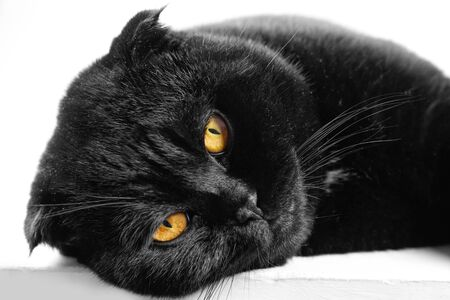 Close-up sleeping serious black Cat with Yellow Eyes in Dark. Face black Scottish fold cat with Golden eyes. Portrait of the cat.