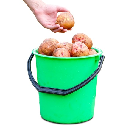 The hand holding the potatoes. Green plastic bucket with fresh potato crop. Close up. Isolated on white background 版權商用圖片