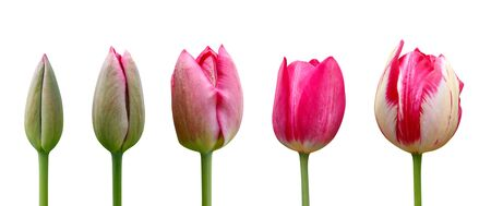 Tulips on white background. Close up. Stages of flowering tulip. From green bud to lush pink flower.