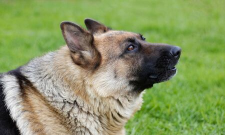 German shepherd howls. Close-up of the head of a howling dog.