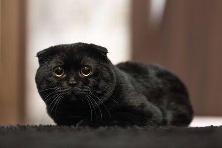 Black Scottish fold cat. Portrait. Close up.