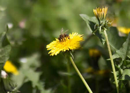 A bee is sitting on a yellow dandelion. Close up.