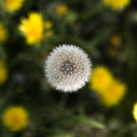 White dandelion among yellow dandelions. Close up. Stock Photo