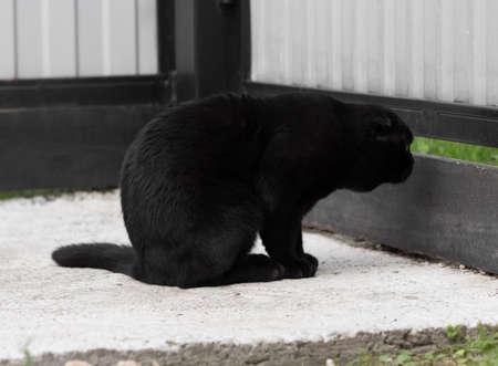 Black Scottish fold cat peeps.