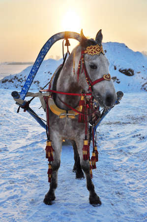 Russian horse in traditional harness in winter photo