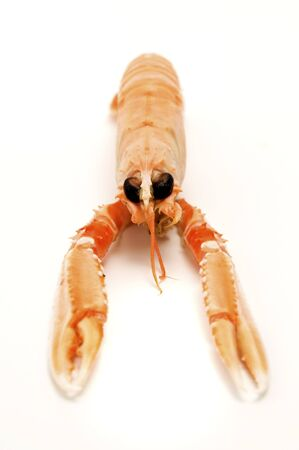 Norway lobster (Nephrops norvegicus) on a white background photo