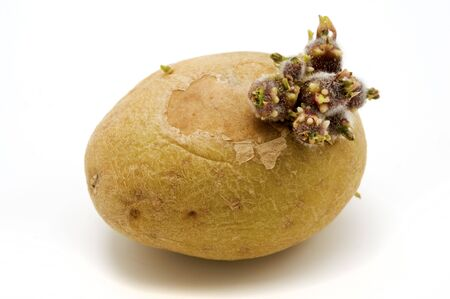 tuberosum: Potato (Solanum tuberosum) growing sprouts on a white background