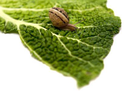 edible snail: A snail (Helix pomatia) on a leaf on a white background